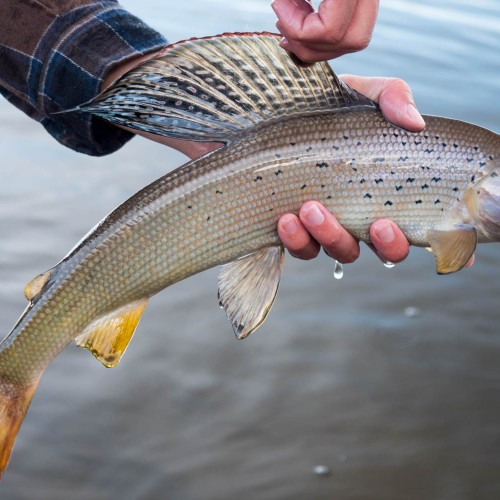 average-utah-grayling