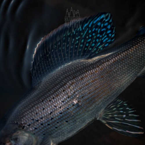 grayling-colors