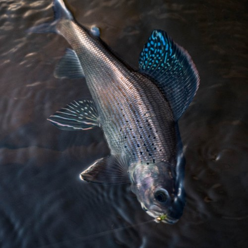 beautiful--arctic-grayling