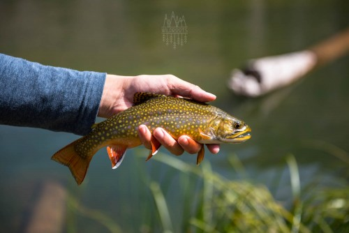 utah-brook-trout